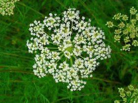 Xà sàng tử là loại thảo dược thường gặp trong các bài thuốc chữa bệnh phụ khoa