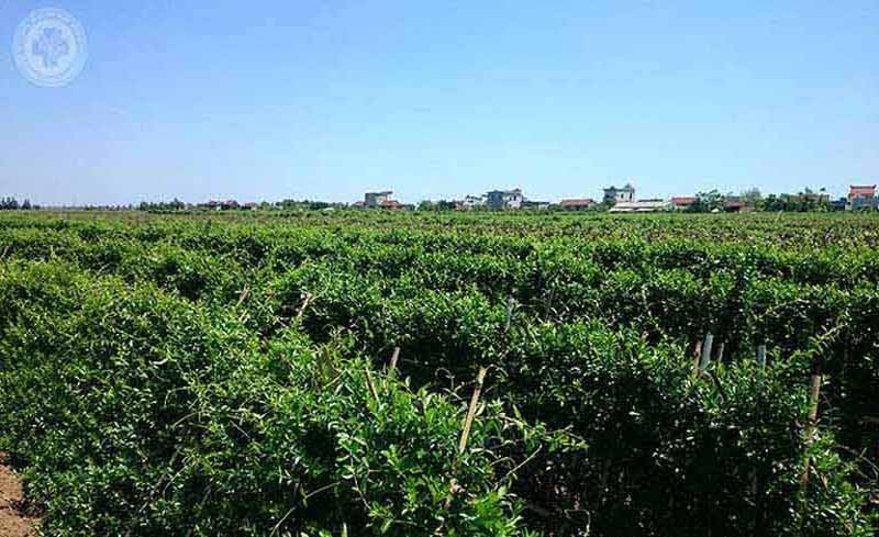 Vườn dược liệu sạch cung cấp thảo dược cho bài thuốc