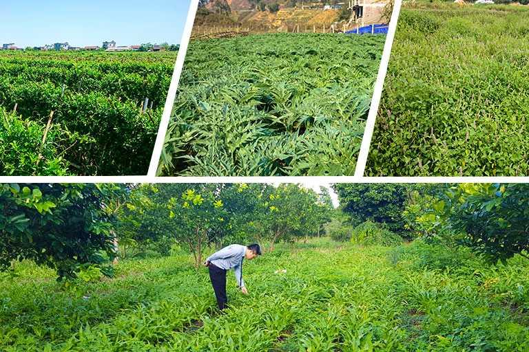 Cán bộ của Trung tâm Phụ Khoa Đông y kiểm tra sự phát triển của cây thuốc tại vườn dược liệu Bắc Kạn