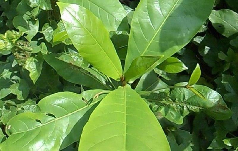 Lá bàng có nhiều hoạt chất hoạt chất flavonoid, tanin và phytosterol