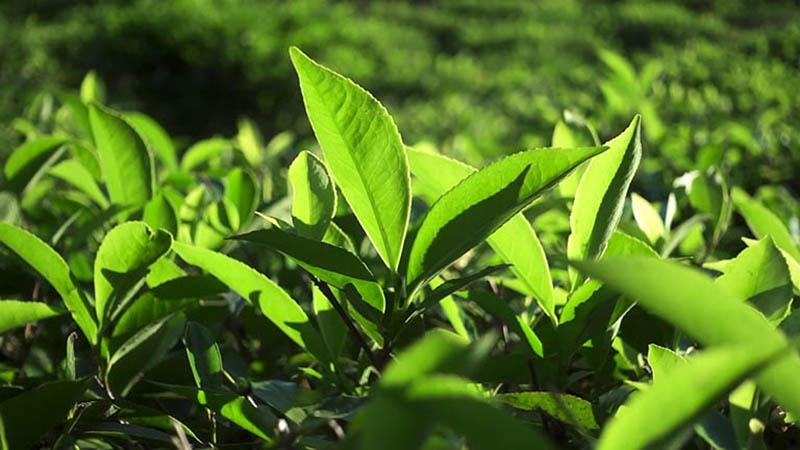 Lá trà xanh được sử dụng phổ biến trong điều trị viêm âm đạo