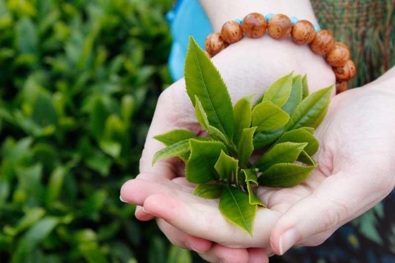 Điều trị viêm lộ tuyến cổ tử cung tại nhà bằng lá trà xanh khá hiệu quả