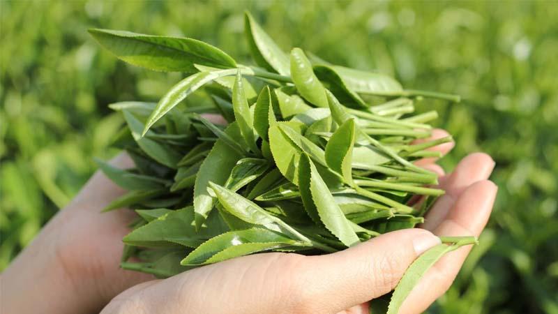 Nước nấu từ lá chè xanh tốt cho vùng kín