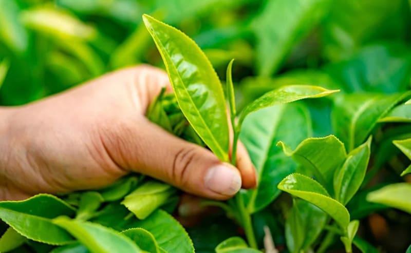 Dùng lá trà xanh loại bỏ vi khuẩn, viêm ngứa