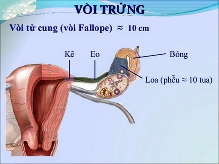 Đoạn kẽ vòi trứng nằm ở vị trí sâu phía trong gần tử cung