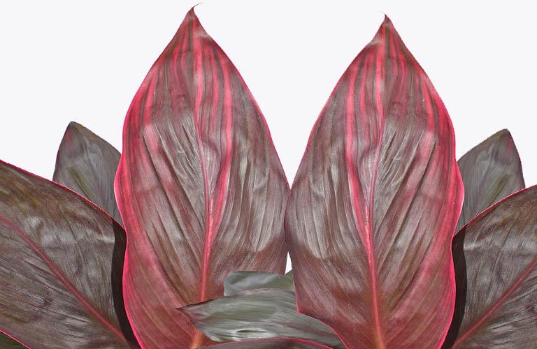 Nên chọn những lá huyết dụ bánh tẻ để làm thuốc để cho hiệu quả tót nhất.