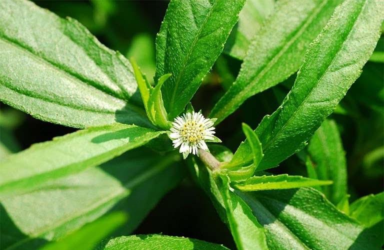 Cây cỏ tự nhiên giúp cầm máu điều trị rong kinh tương đối tốt.
