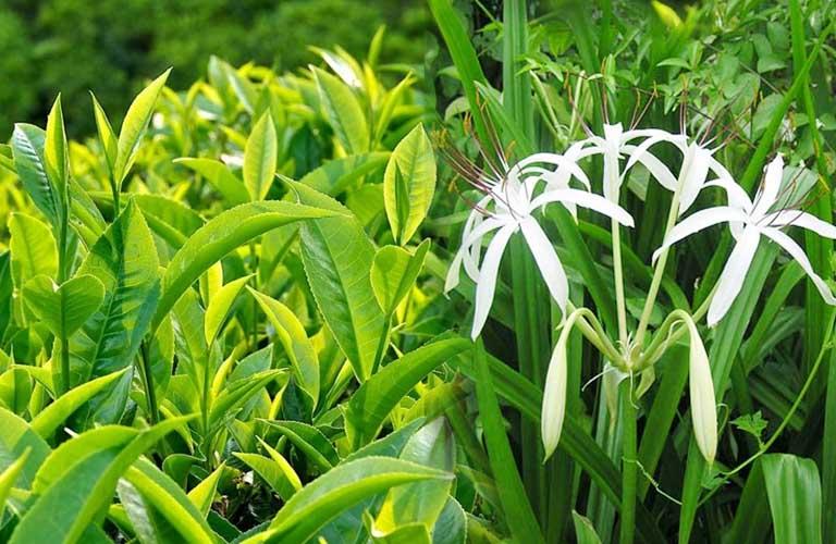 Trà xanh và trinh nữ hoàng cung có thể hỗ trợ làm giảm triệu chứng bệnh
