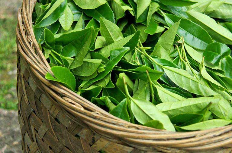Dùng lá trà xanh chữa nấm